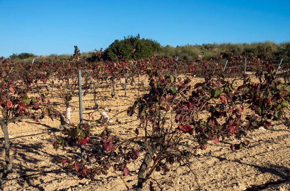Виноград Монастрель: испанская история знаменитого сорта, также известного как мурведр Виноград Монастрель: испанская история знаменитого сорта, также известного как мурведр 19