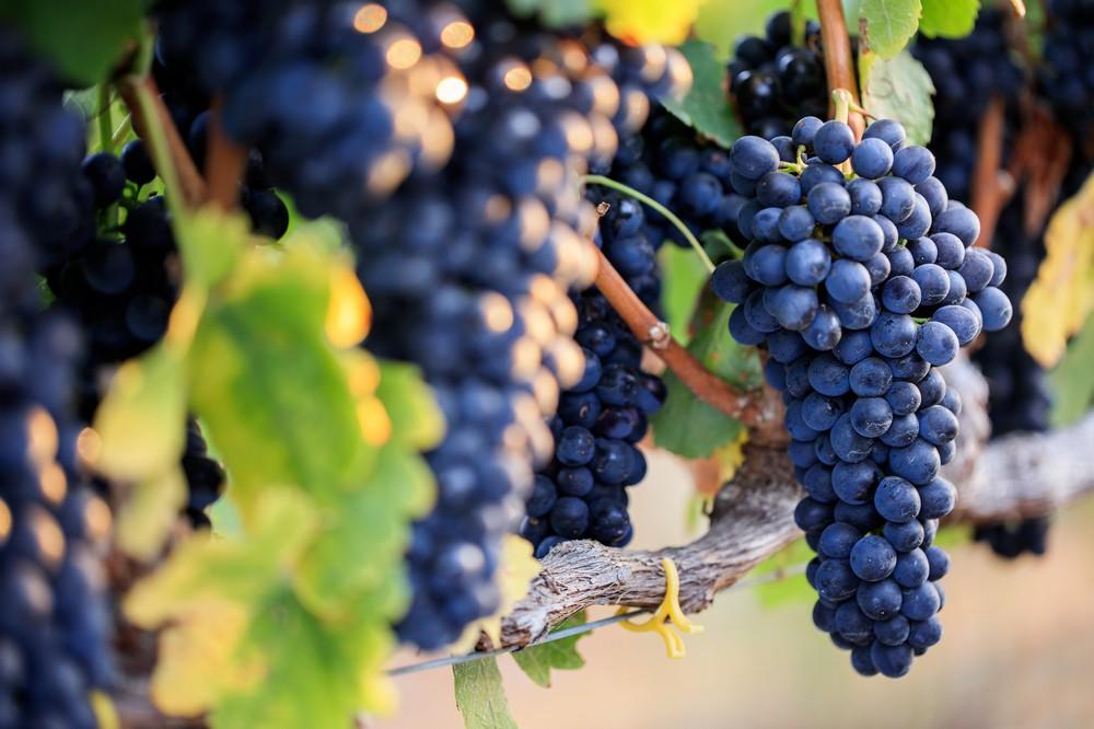 Виноград Монастрель: испанская история знаменитого сорта, также известного как мурведр Виноград Монастрель: испанская история знаменитого сорта, также известного как мурведр 20